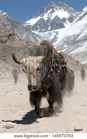 Yak on the way to Everest base camp - Nepal