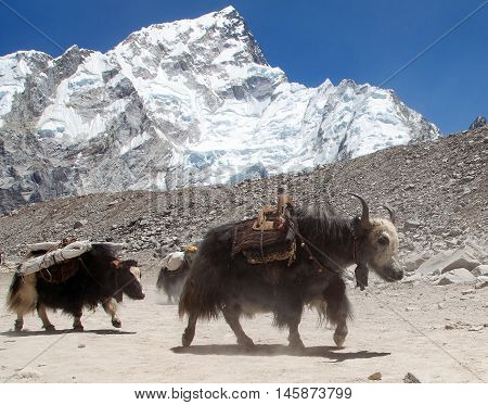 View of yaks (bos grunniens) group near Gorak Shep village with mount Nuptse on the way to Everest base camp - Nepal