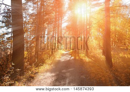 Forest sunny autumn landscape -row of autumn yellowed trees under autumn sunlight. Autumn red trees in the forest in sunny autumn weather picturesque landscape sunny autumn nature. Soft focus applied