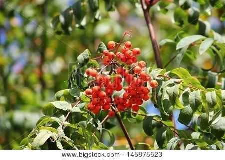 red bunch of rowan on the green leafs closeup