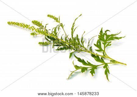 Common Ragweed (Ambrosia artemisiifolia) on a white background