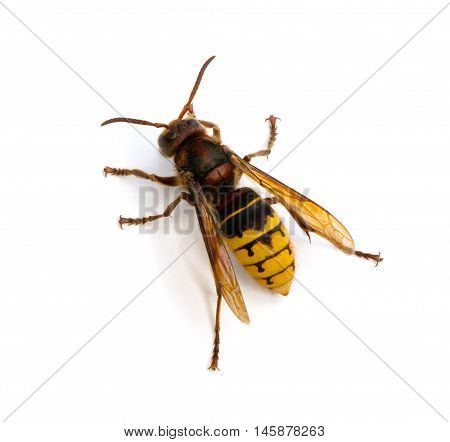 Top view of European Hornet (Vespa crabro) on a white background