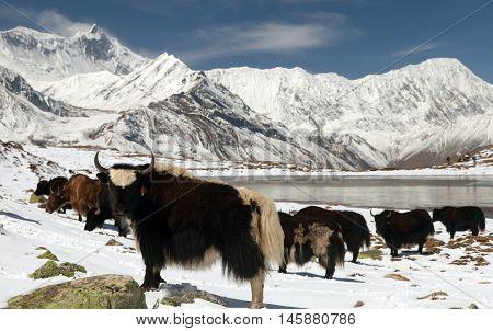 Herd of yaks (bos grunniens) on snow in Annapurna Area near Ice lake (Kicho Tal) Annapurna range Nepal