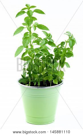 Fresh Green Lush Foliage Mediterranean Basil with Water Drops in Green Flower Pot isolated on White background