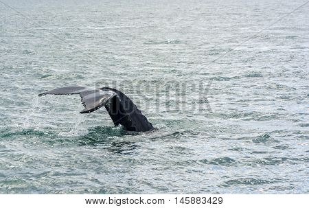 Humpback Whale diving in north Iceland. Megaptera novaeangliae
