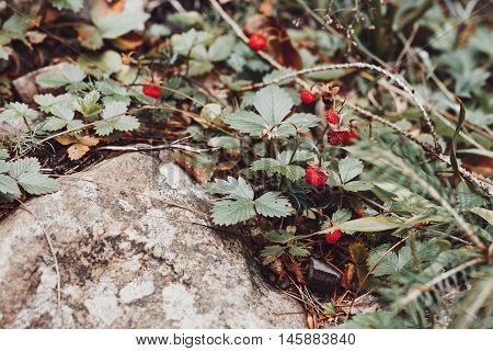 Ripe Wild Strawberry In Forest