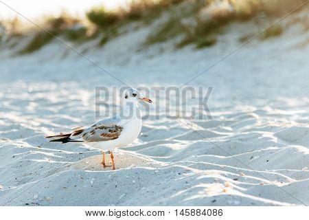 Beach sea seagull white bird with red beak in the sand sun background