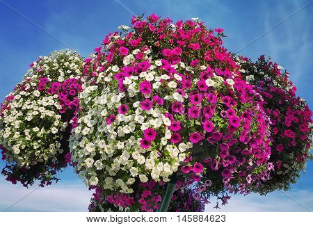 Flowers of bright petunia against the blue sky
