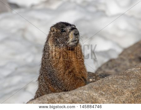 A curious Yellow-bellied Marmot peers from the shelter of a pile of rocks in Rocky Mountain National Park.