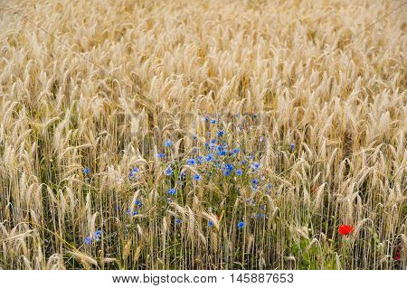 Blue cornflowers growing on agricultural field among ripe wheat
