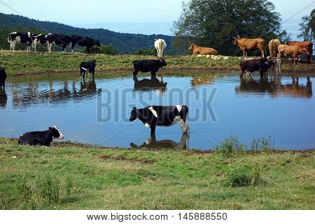 cows at a pond in front of Lake Garda, Italy