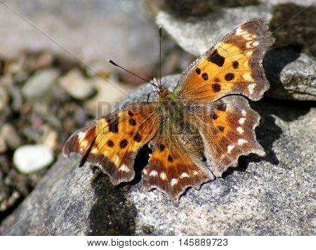 A Green Comma butterfly resting on a rock