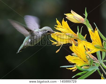 An Anna's Hummingbird feeding on Alstroemeria flowers