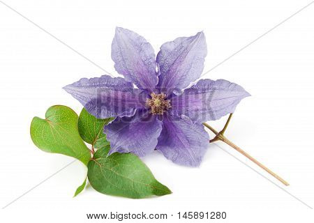 Clematis flower isolated on white background. Climbing plant for decorative gardening.