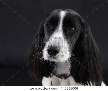 Black and White Springer Spaniel on Black background