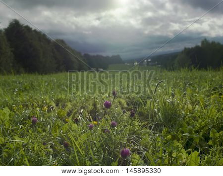 Clover flowers in the valley after rain with overcast sky contra light shot