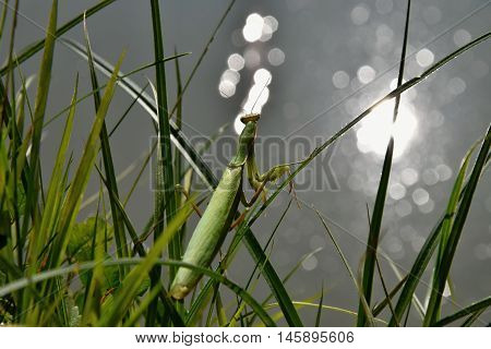Green mantis sitting in the grass and looking at the water level. Mantis religiosa.