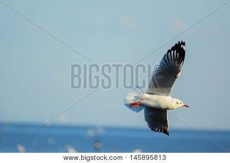 Seagull is gliding over the sea at Bangpu recreation center, Samutprakan, Thailand.