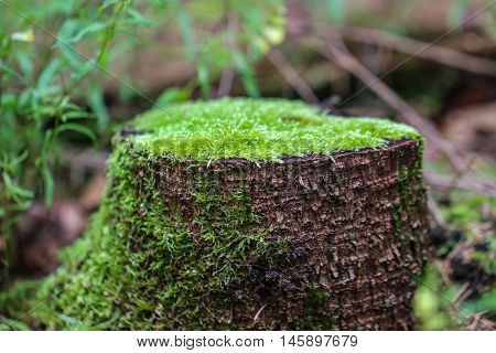 Rotting tree trunk. The old stump, covered with a moss in forest.