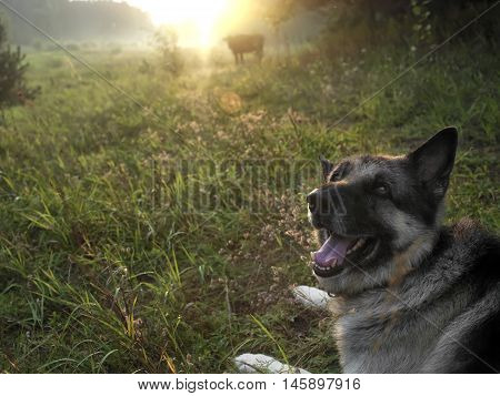 A shepherd dog herding a cow outdoor sunset scene with blurred background. Filtered shot