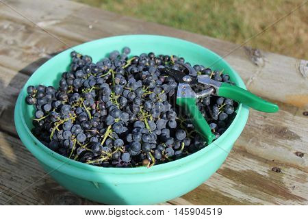 A bowl of blue grapes with a pair of clippers.