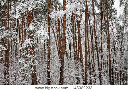 Forest After Snowstorm.