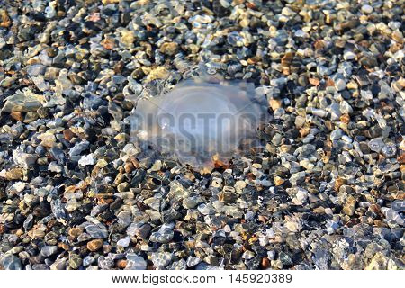 Whitish transparent jellyfish in sea water on background of multicolored pebbles