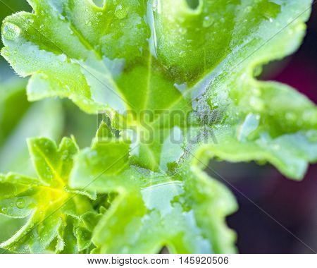 macro shot of some wet green leaves