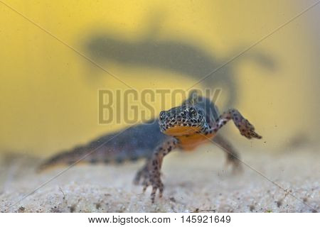 Male Alpine Newt With Female In Backdrop