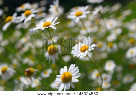 Camomile field. Blurs.  Yellow and green summer background