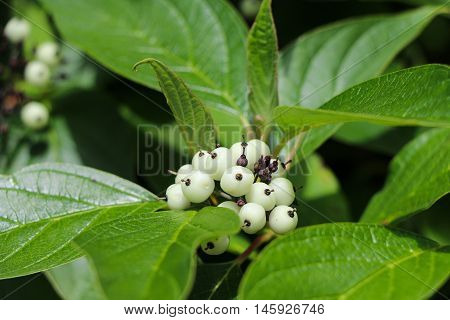 Bunch of white berries. Nature. Forest. Fruit.
