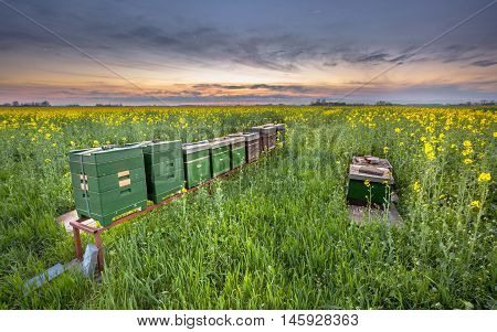 Row Of Beehives In A Canola Field