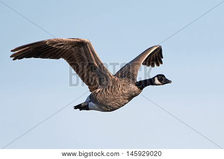 Canada goose (Branta canadensis) in flight with blue skies in the background