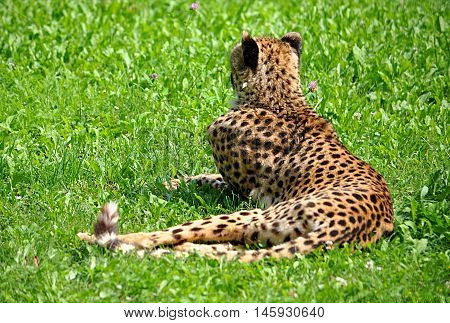 dangerous animal in Africa - cheetah in the grass