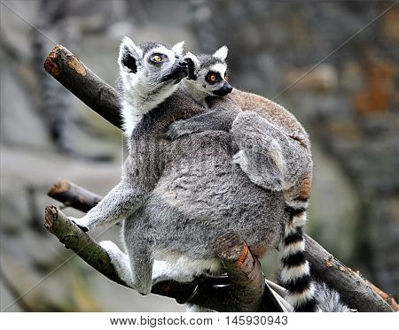 Exotic animals by day - monkey lemur