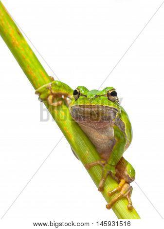 Green European Tree Frog Frontal Diagonal