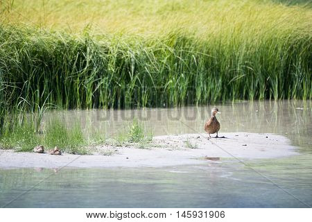 mother duck with baby ducks on sandbank before lake grass