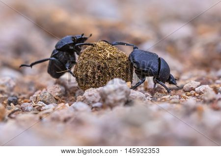 Two Moiling Strong Dung Beetles
