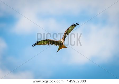 beautiful majestic red kite bird with openend wings hunts for prey
