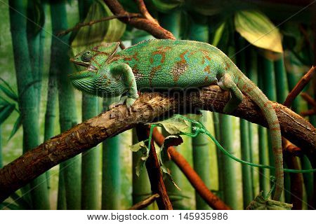 Funny Green Chameleon in the jungle  on a branch