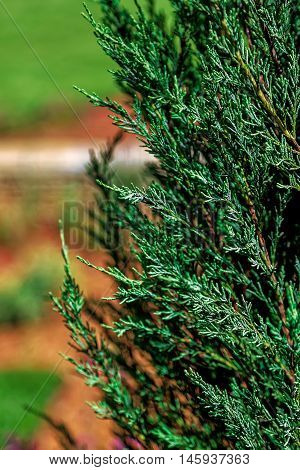 Conifer fir on the a green background.