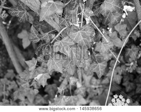 Ivy Plants Background In Black And White
