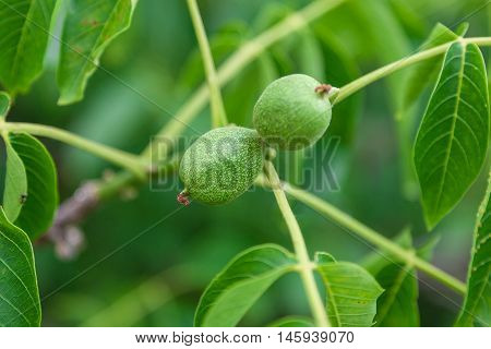 Green branch with fruits walnuts on a green background.