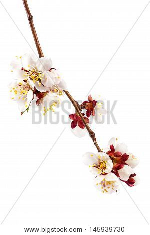 Flowering branch of apricot isolated on white background.