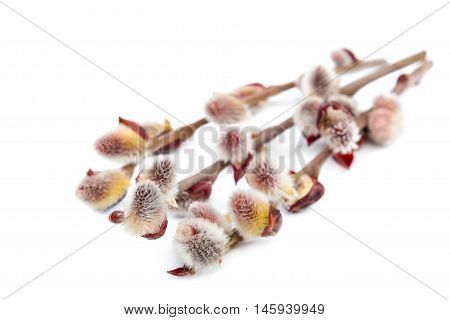 Delicate flowering willow branch isolated on white background.
