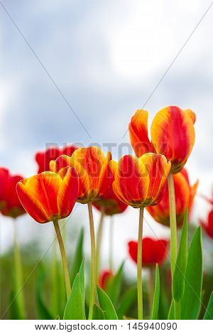 Red and yellow tulips against the blue sky.