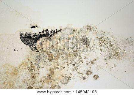 black mold on white old plaster chetomium