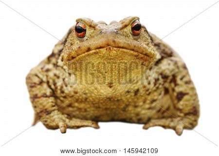 isolated close up of brown common toad full length animal ( Bufo ) front view