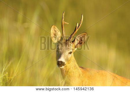 portrait of wild roe deer buck ( Capreolus capreolus )