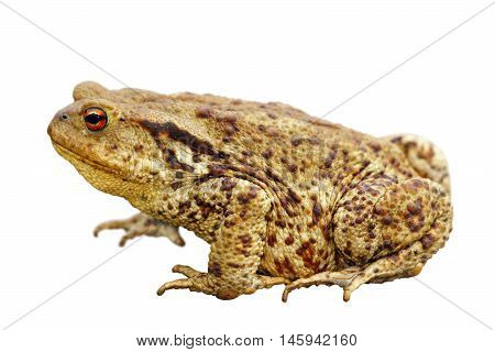 brown common toad isolated over white background full length ( Bufo )